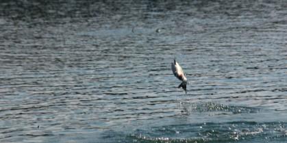 Temporary closure of Salmon pools on the Miramichi River