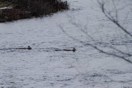 A doe taking her yearling across the river.