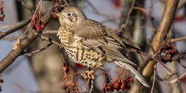 A Mistle Thrush Comes to Visit