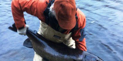 Miramichi River Year End Millerton Trap Numbers Analysis