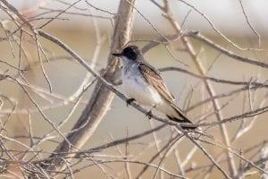 Eastern Kingbird at Miramichi Marsh, May 2016 photo by Peter Gadd